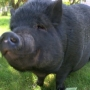 Pasco resident wants city to allow pigs as pets
