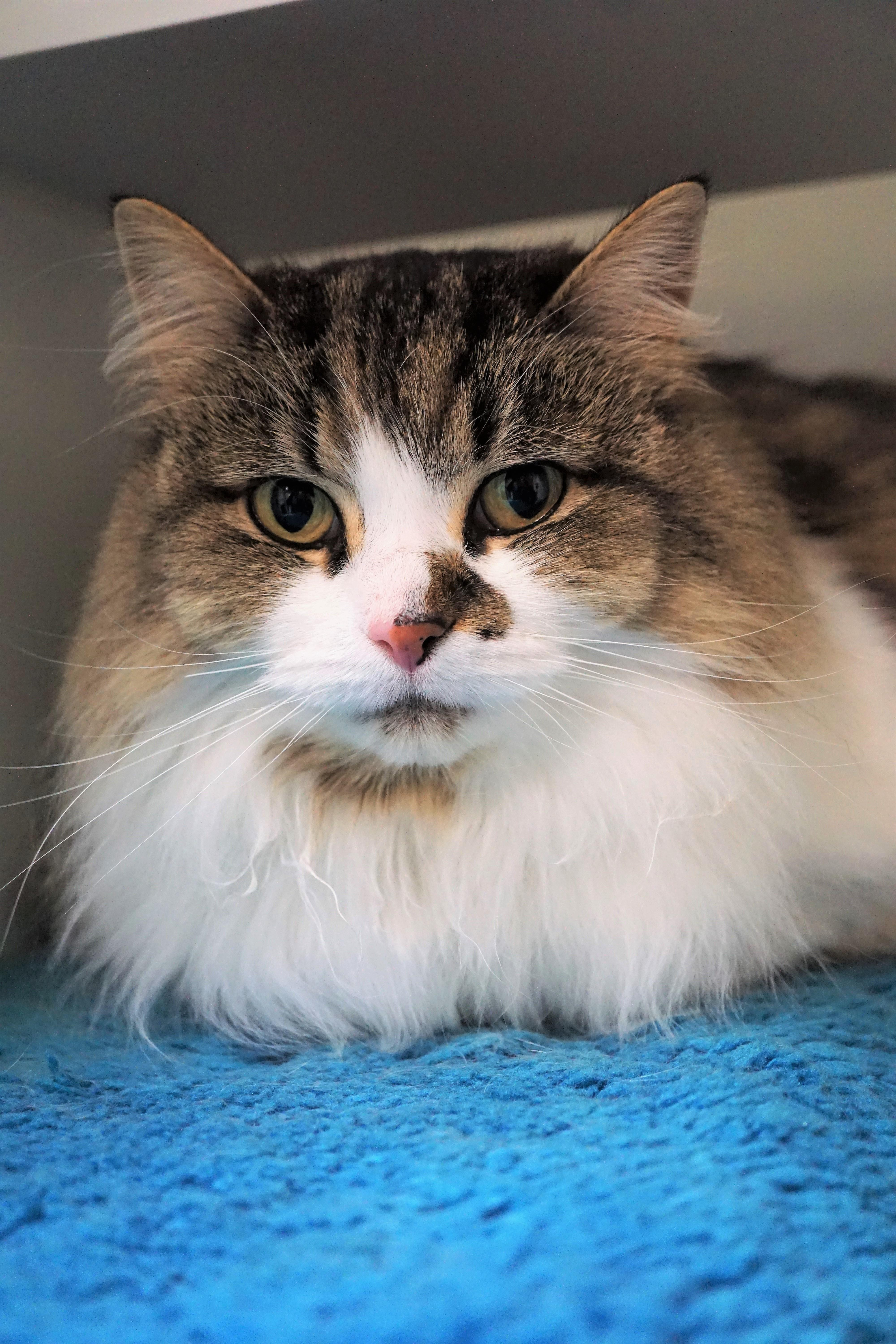 Hi there, I'm Abby – a delicate, 10 year old Norwegian forest mix kitty looking for a calm, quiet home to call my own. I can be nervous in new situations so a cat savvy home with teens and adults sounds wonderful for my new life with you! Once I settle in, you'll see I love to cuddle and hope to spend most of my days snuggled by your side. Meet me soon!<p></p>