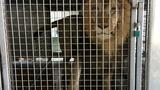 Lions, tigers, leopard found in Arkansas barn in transit to Germany