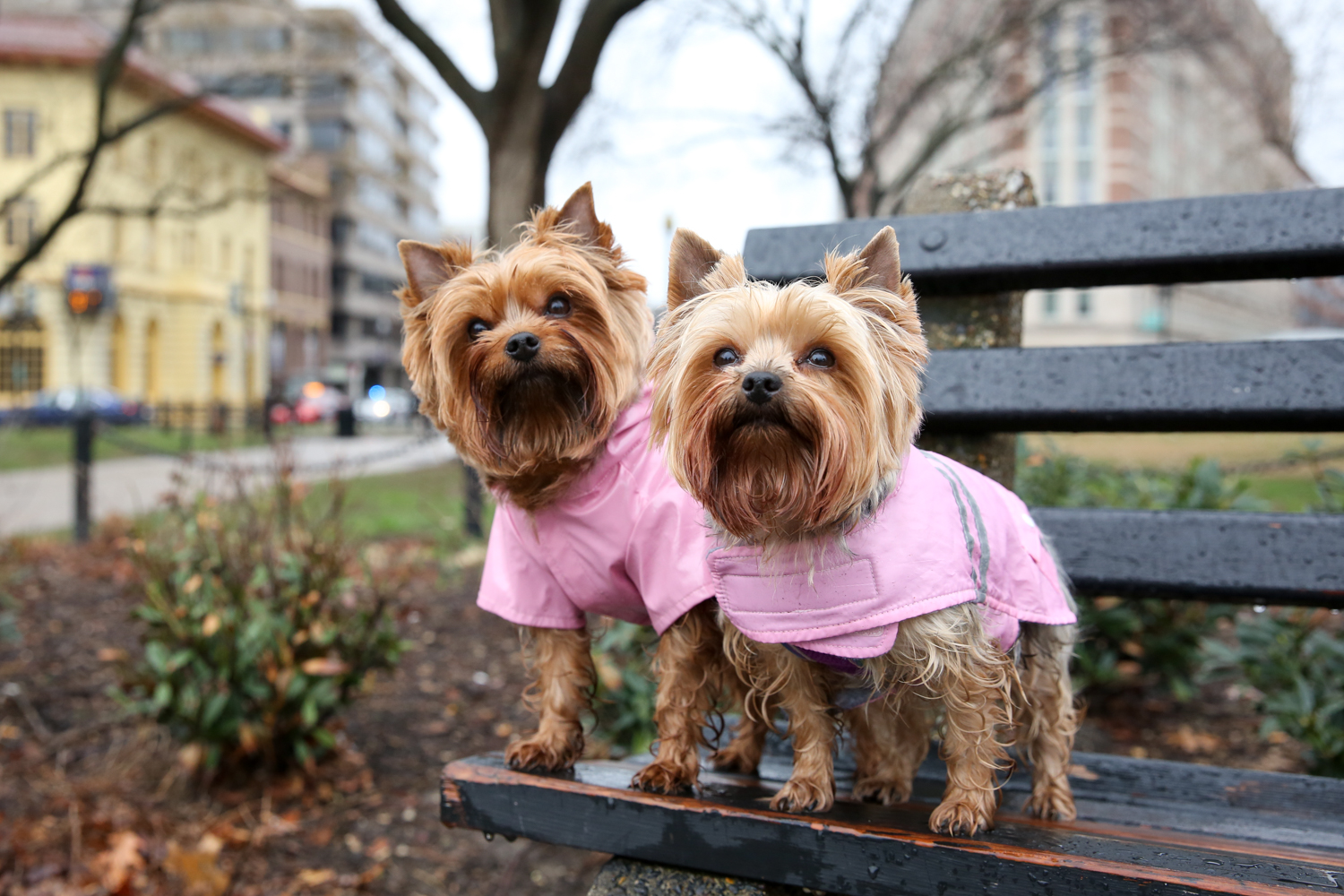 Meet Sophia and Izzy Bear, 5-year-old and 3-year-old Yorkshire Terrier sisters.{&amp;nbsp;} Sophia and Izzy's mom has grown up around Yorkies since she was 11, and she found both of her beautiful girls when she lived in Florida. They have adjusted well to city life, and really love being able to walk into so many of the stores and shops around D.C. -- the extra attention makes them showoff! Mom likes to jokingly refer to the girls as her &quot;therapist, Prozac, adventure seeing buddies and best friends all wrapped into one!&quot; After creating an Instagram account for Sophia and Izzy Bear (@yorkieheaven), mom realized there was a huge need for products uniquely suited to meet the needs of small dogs, and thus @smalldogofficial was born, with Sophia and Izzy Bear taking over as co-CEOs. Currently they market a comb to remove &quot;eye gunk&quot; on little dogs. If you or someone you know has a pet you'd like featured, email us at dcrefined@gmail.com or tag #DCRUFFined and your furbaby could be the next spotlighted! (Image: Amanda Andrade-Rhoades/ DC Refined)<p></p>