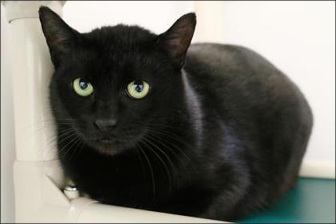 Seattle Humane Society Black Cats
