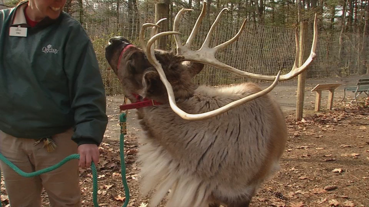 Reindeer are the only species of deer that both male and female grow antlers. (WCHS/WVAH)<p></p>