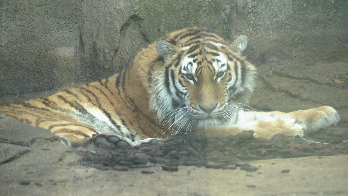 Potawatomi Zoo Tiger Hilary Powell WSBT 22