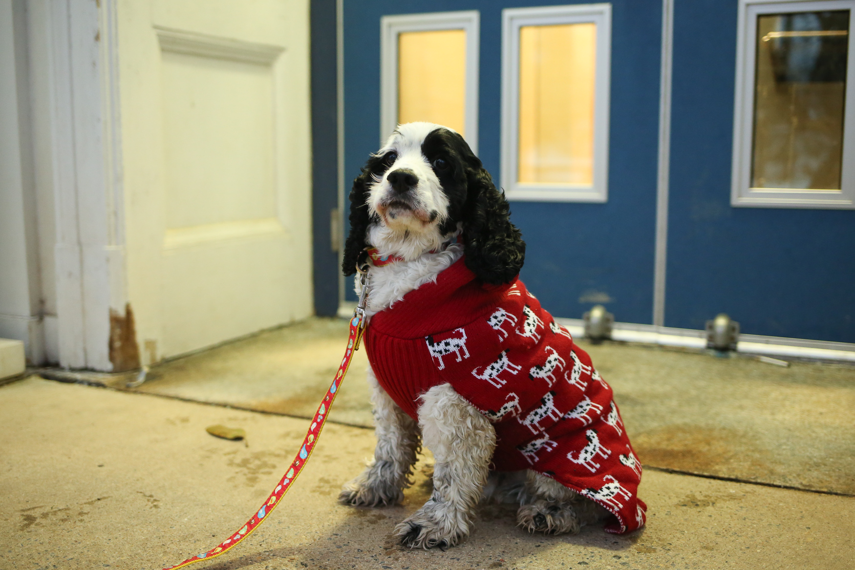This week's Ruffined star is Tenley. Named for Tenleytown, this 3ish year-old cocker spaniel was a foster fail from{ }OBG Cocker Spaniel Rescue in NoVa. Tenley likes noisy toys, but nothing trumps his love of swimming. Tenley was adopted after his mom was looking for a companion for her older cocker spaniel - another rescue pup. Although Tenley wasn't sure of himself at first, his mom says his confidence has grown a lot over the last year and a half. In fact, on New Year's eve he let everyone pet him! You can keep up with Tenley and his brother at{ }@back2JMayer on Instagram.{ }