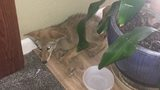 Eastern Wash. family finds coyote curled up in their kitchen
