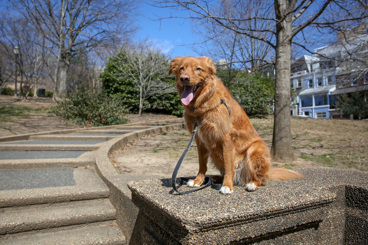 Meet Rusty, a four-year-old Nova Scotia Duck Tolling Retriever. In case you're not familiar with that particular breed (we weren't!) here's a little background: 'Toll' means to lure, and the breed is a hunting breed, as they lure prey into sight for the hunting human companion -- birds are attracted to the color of their coat. Rusty moved from Seattle to the D.C. area with his humans last fall, and seems to be adapting quite well. Rusty loves food (he'll do just about any trick for a treat) and tennis balls. When there is a tennis ball in sight, nothing is more important to him; he could be with a ton of other dogs, there could even be a juicy bone laying around, and he'd prefer the tennis ball. He also enjoys being active, particularly going on runs, hikes and swims. Rusty is terrified of sneezes and will run away from you if you sneeze, or even if you take a deep breath like you are about to sneeze. If you or someone you know has a pet you'd like featured, email us at dcrefined@gmail.com or tag #DCRUFFined and your furbaby could be the next spotlighted! (Image: Amanda Andrade-Rhoades/ DC Refined)
