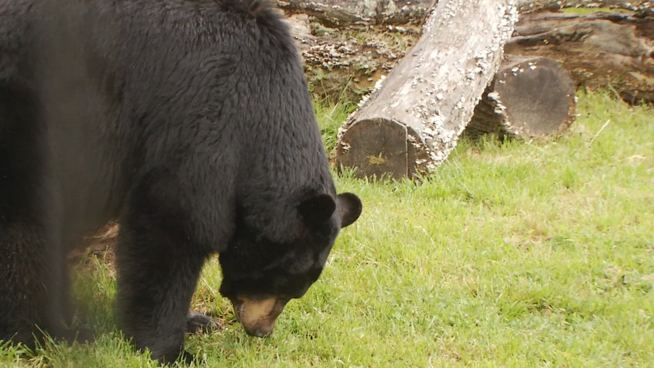 Joanne Willoughbi, with the Western North Carolina Nature Center, said bears aren't normally aggressive. (Photo credit: WLOS staff)