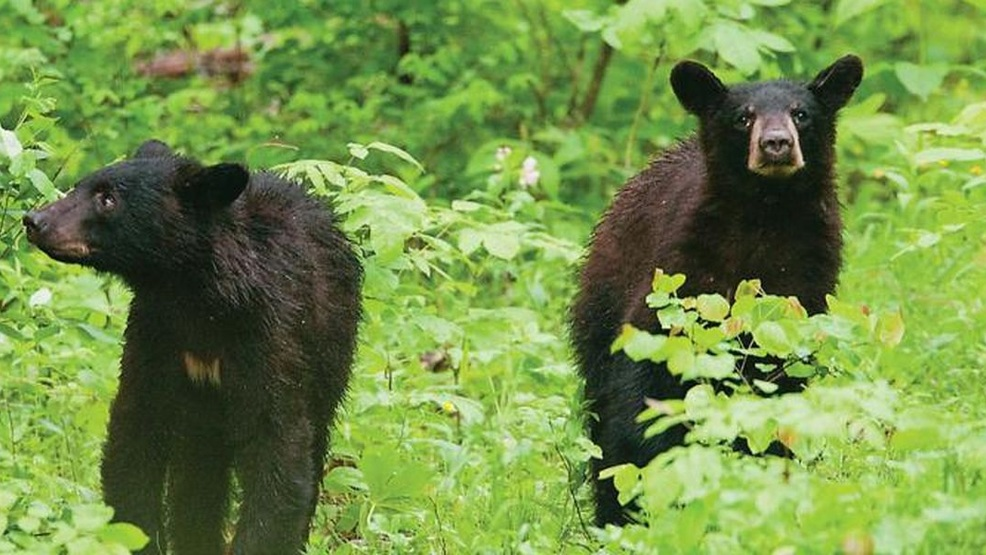 Mo. Department of Conservation invites public to open houses on black bears (Source - MDC).jpg