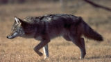 USDA to trap 40-60 coyotes living on Joint Base Charleston