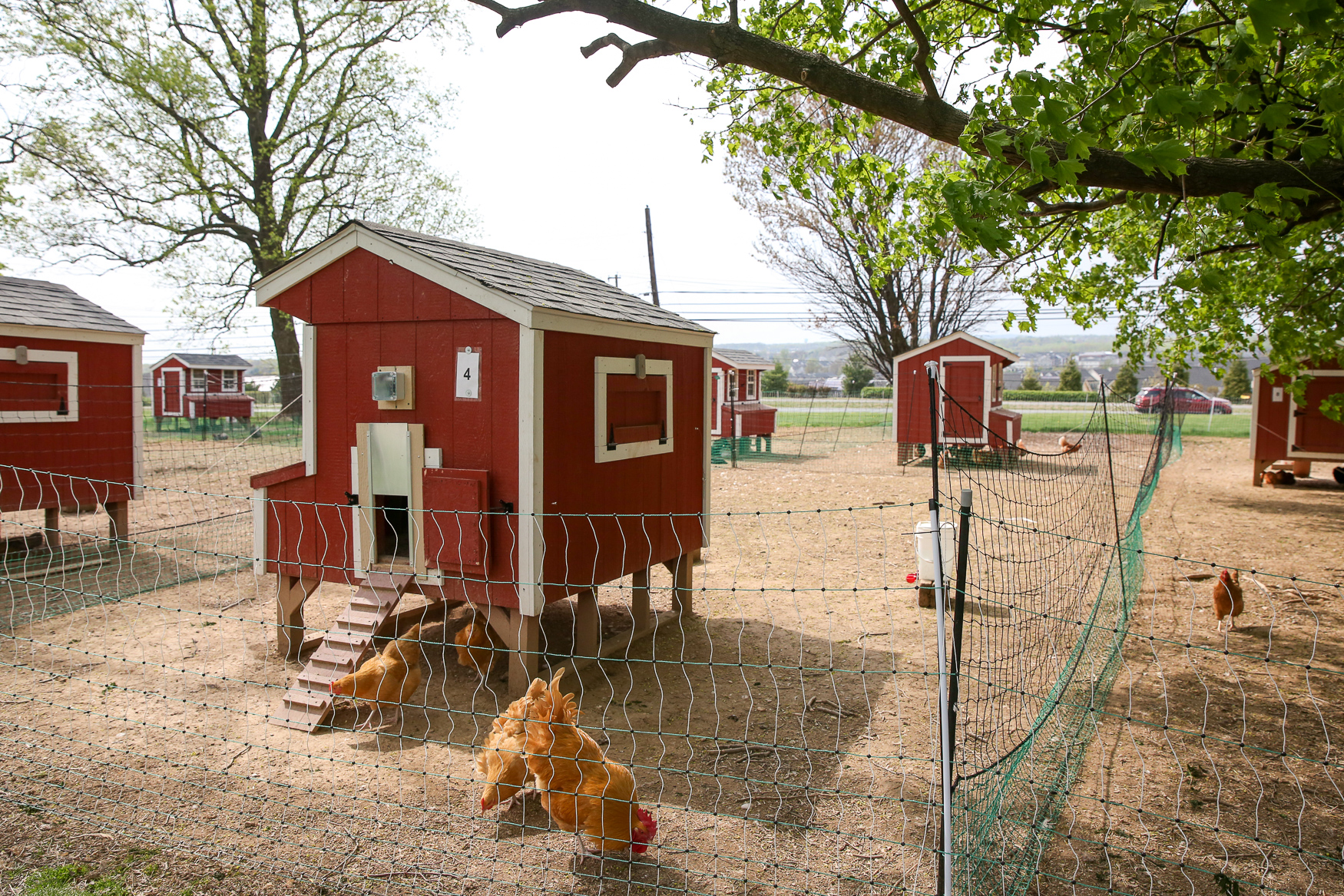 If you end up falling in love with your hens (or at least the steady supply of fresh eggs), the birds and the coop setups are available for purchase at the end of the rental period. (Image: Amanda Andrade-Rhoades/ DC Refined)