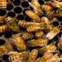 Woman discovers 6-foot honeycomb, 120k bees in her ceiling
