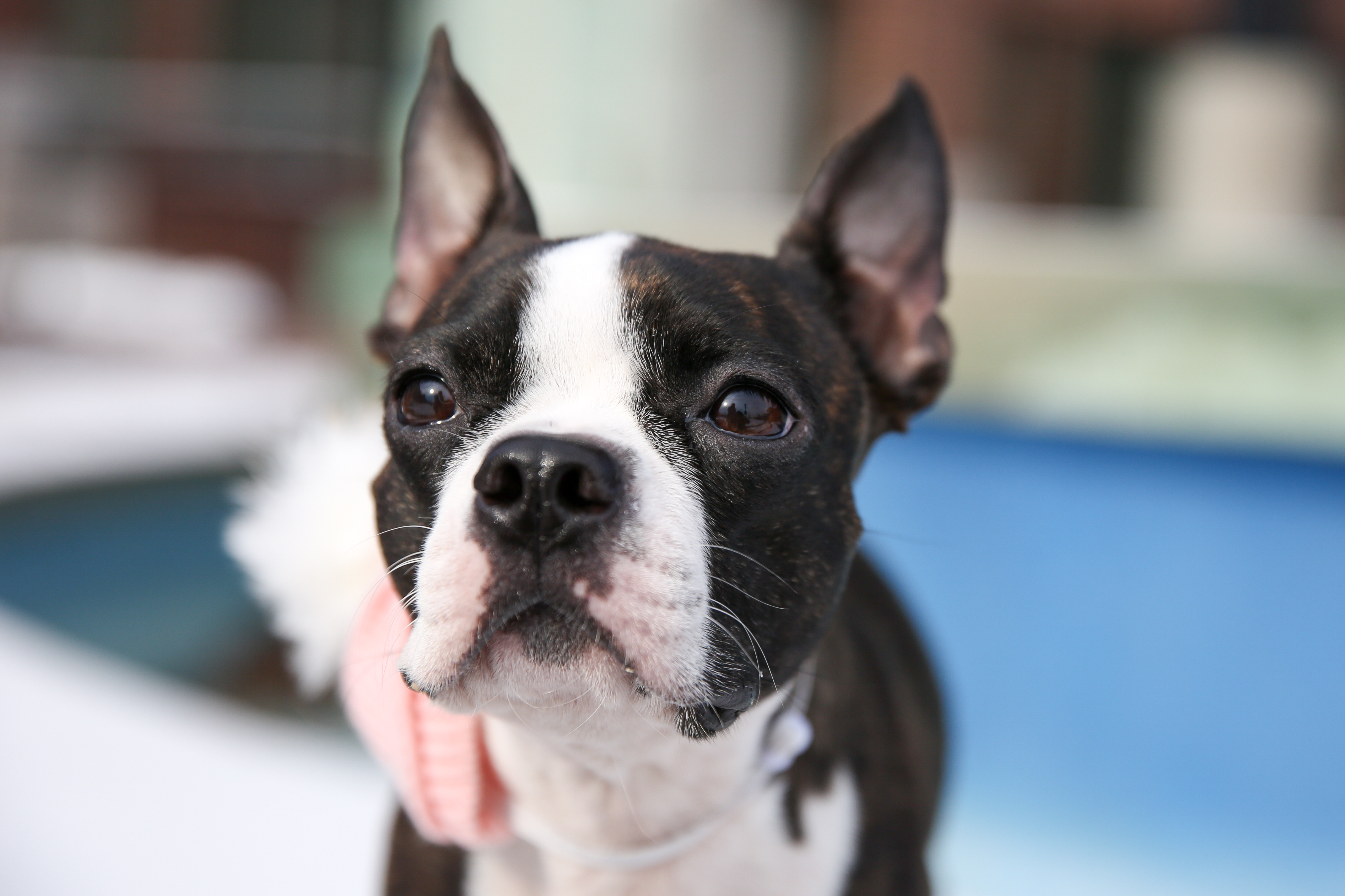Meet Madeleine, a (almost) four-year-old Boston Terrier, who came to her mom from a farm in West Virginia when she was two months old! Maddie absolutely loves to sunbathe, eat fruits and veggies (her favs include broccoli and mangoes), cuddle and lick your face and she loves children more than other dogs or big humans. She's not the biggest fan of ear cleaning, the vacuum, squirrels or staying up past her bedtime -- don't mess with this feisty lady's beauty sleep! Oh and did we mention she responds to commands in both and Spanish?? Yep, this babe is bilingual! You can follow all of Madeleine's adventures on her Instagram, @theladymadeleine. If you or someone you know has a pet you'd like featured, email us at dcrefined@gmail.com or tag #DCRUFFined and your furbaby could be the next spotlighted! (Image: Amanda Andrade-Rhoades/ DC Refined