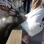 Video shows sea lion drag girl into water near Vancouver, B.C.