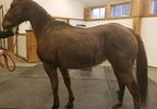 'Koby is approximately 14 years old and has a body score of 3.5' - Image from Sound Equine Options.jpg