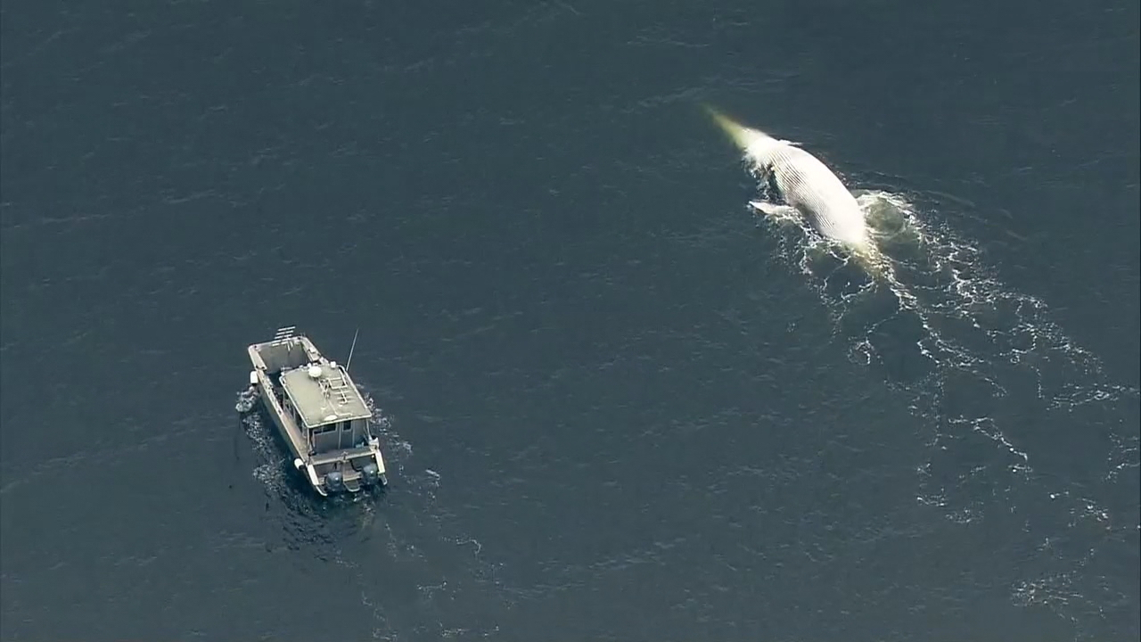 Researchers say they've seen a spike in whale deaths in Washington waters over the last three weeks. They''ve found a common threat which has contributed to all the deaths: humans. (Photo: KOMO News)