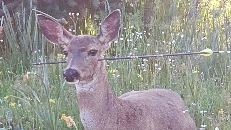 oregon trooper finds living deer with arrows sticking through them