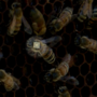Creighton study on puts microchips on honeybees