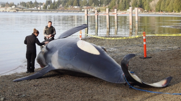 The Southern Resident Orca known as J34 was found dead on Monday, Dec. 19, 2016,  in the Sunshine Coast area, about 30 miles north of Vancouver, B.C. (Photo: CTV)